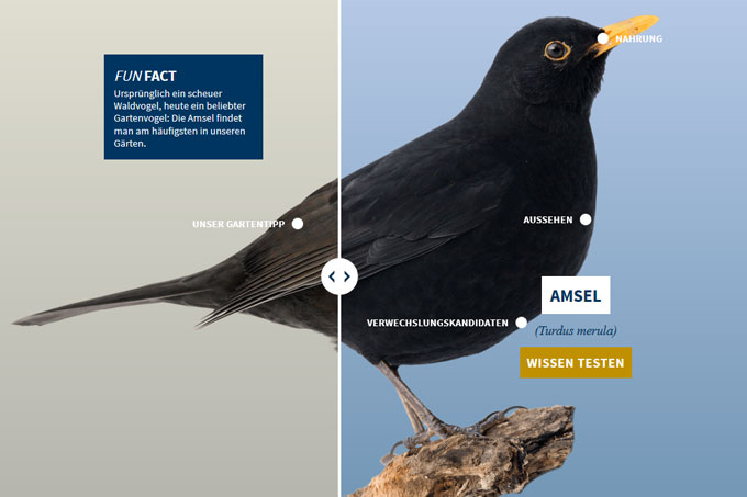 NABU-Vogeltrainer - amsel