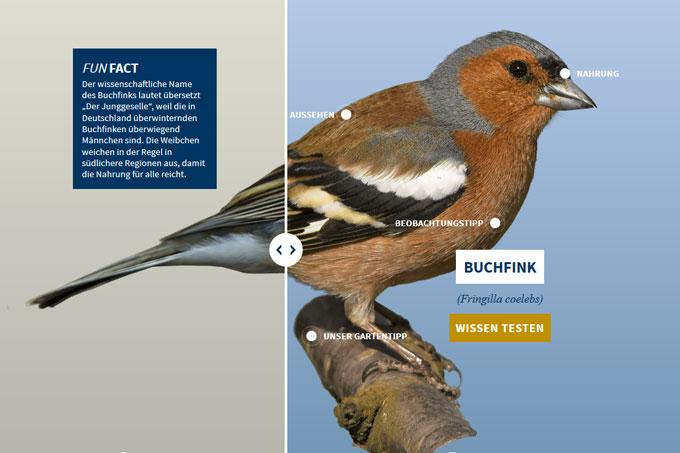 NABU-Vogeltrainer - buchfink