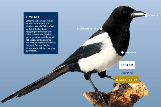 NABU-Vogeltrainer - elster