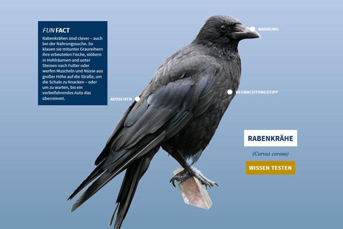 NABU-Vogeltrainer - rabenkraehe