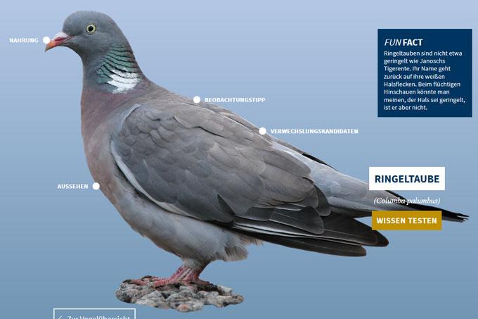 NABU-Vogeltrainer - ringeltaube