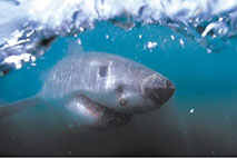 Weißer Hai - Foto: Andreas M. Serec - Sharkproject