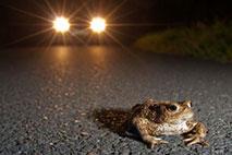 Krötenwanderung - Foto: Jonathan Fieber