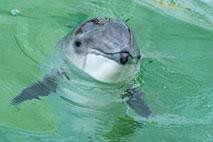 Ostseeschweinswal - Foto: Willi Rolfes
