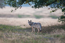 Wolf - Foto: Jürgen Borris