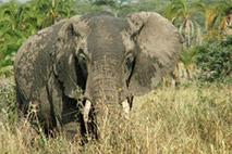 Afrikanische Elefanten - Foto: Barbara Maas