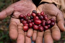 Wildkaffee-Wälder Kafa - Foto: Bruno D Amicis