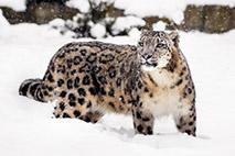 Schneeleopard - Foto: Sebastian Hennigs