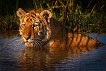 Indischer Tiger - Foto: Hein Waschefort