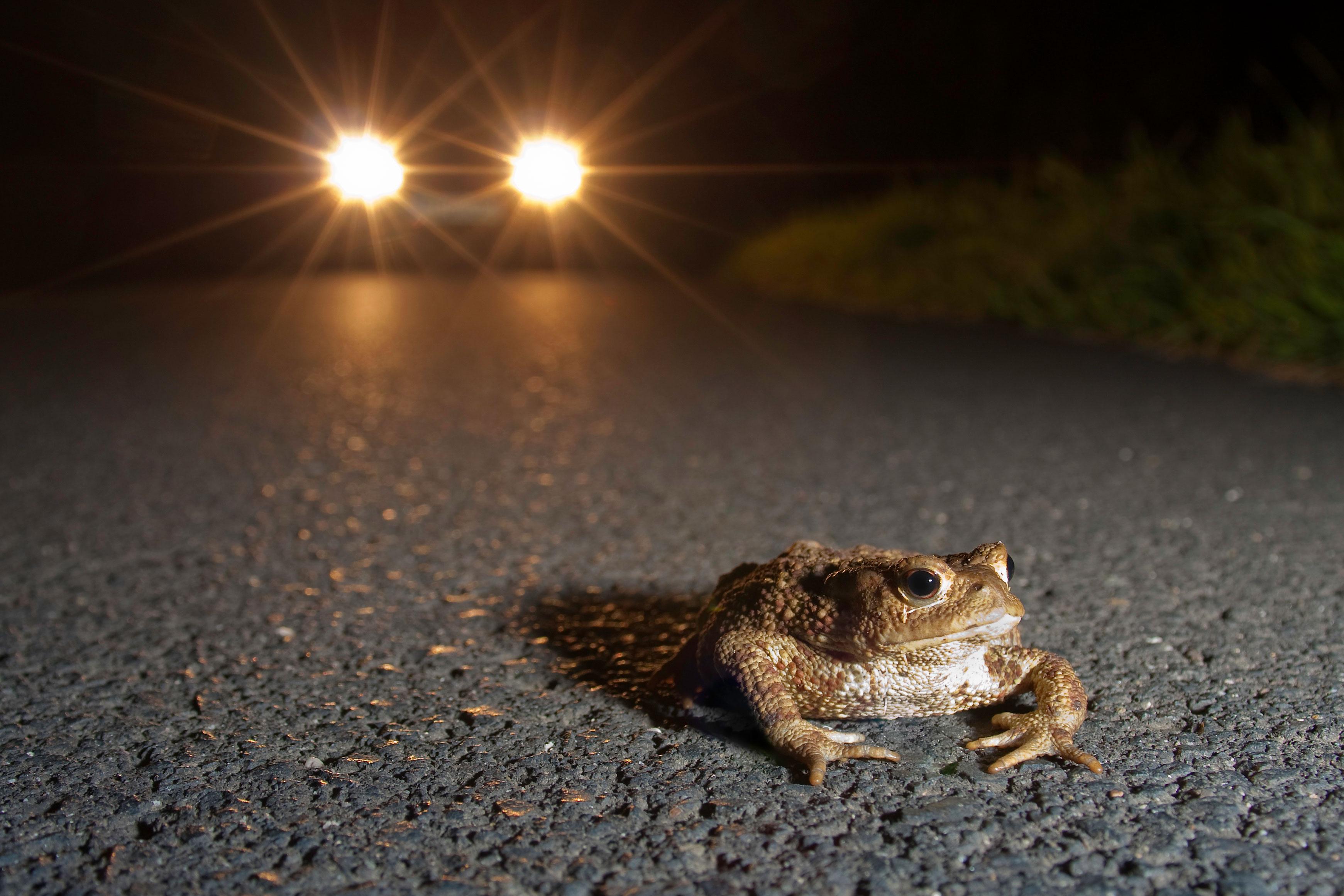 Erdkröten vor dem Auto