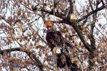 Kletterer befestigt Vogelhäuschen für Artenschutz-Aktion im NABU-Baum am Hackeschen Markt