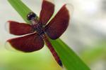 Violette Libelle