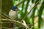 Scaly Kingfisher (Actenoides princeps) aus der Familie der Eisvögel.