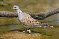 European-Turtle-dove_Streptopelia-turtur_Denis-Cachia_VU
