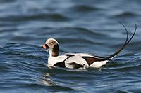 Long-tailed-Duck_Clangula-hyemalis_Wolfgang-Wander