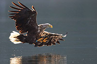 White-tailed-Sea-eagle_Haliaeetus-albicilla_RSPBimages