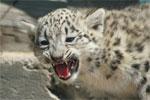 Schneeleoparden-Babys