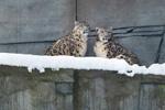 Schneeleoparden Neunkircher Zoo