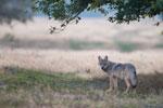 Wolf am frühen Morgen auf dem Truppenübungsplatz Munster Nord in der Lüneburger Heide.