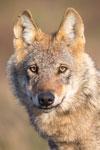 Wolf in der Lüneburger Heide auf dem Truppenübungsplatz Munster Nord.