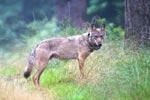 Wolf MT6 mit Senderhalsband