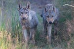 Wolfswelpen des Rudels Munster in Niedersachsen (Sommer 2013)