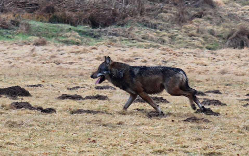 Wolf im Westerwald