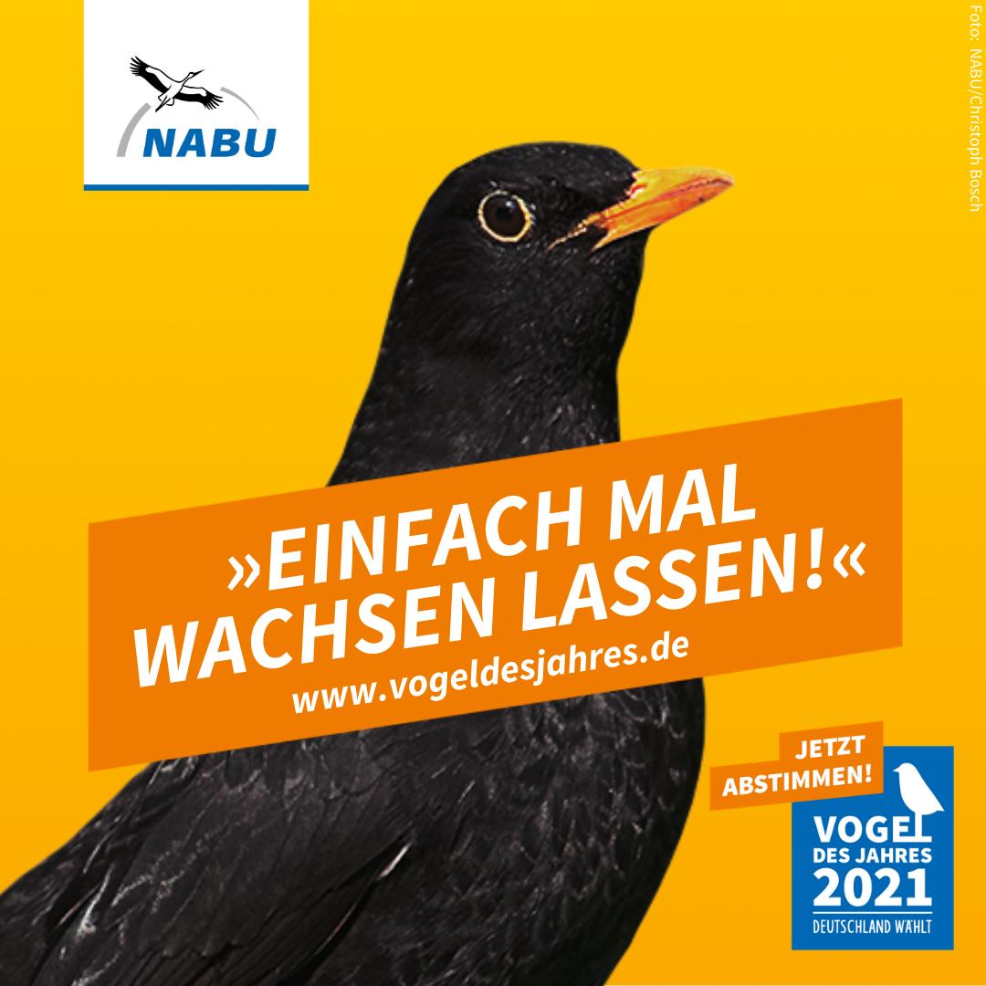 https://www.nabu.de/downloads/vdj/bilder-vogelwahl2021/Wahlplakate_Amsel.zip