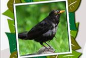 NABU-Vogelstimmenquiz