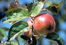 Hibernal-Apfel