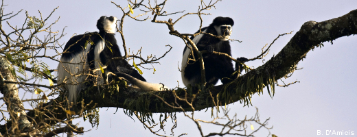 Eastern black-and-white Colobus monkeys (Guereza Colobus)