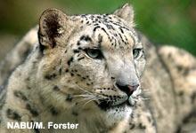 Der Schneeleopard gehört zu den bedrohtesten Raubkatzenarten der Welt.