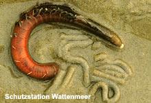 Wattwurm-Zwilling nach 30 Millionen Jahren endlich entdeckt