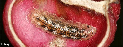 Das pfaffenh tchen nabu for Fliegen larve
