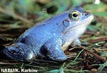 Erreicht das Amphibiensterben auch Deutschland?