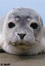 Seehund Trischen