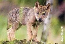 Helfen Sie mit, dass Wölfe in Deutschland wieder eine Heimat finden