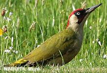 Warum der Grünspecht zum Vogel des Jahres 2014 gekürt wurde