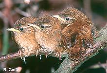 Vogel Des Jahres 2004 Der Zaunkonig Nabu