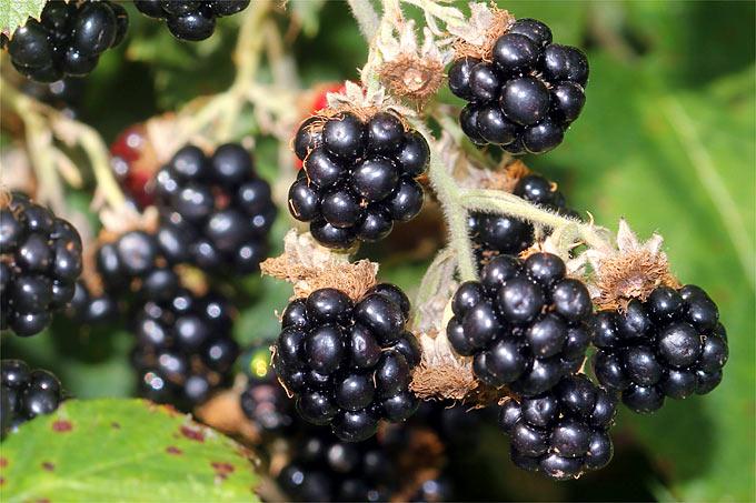 Lob Der Brombeere Tipps Für Konfitüre Fruchtwein Und Likör Nabu