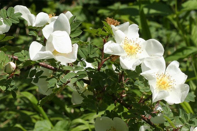 Wildrosen Pflanzen