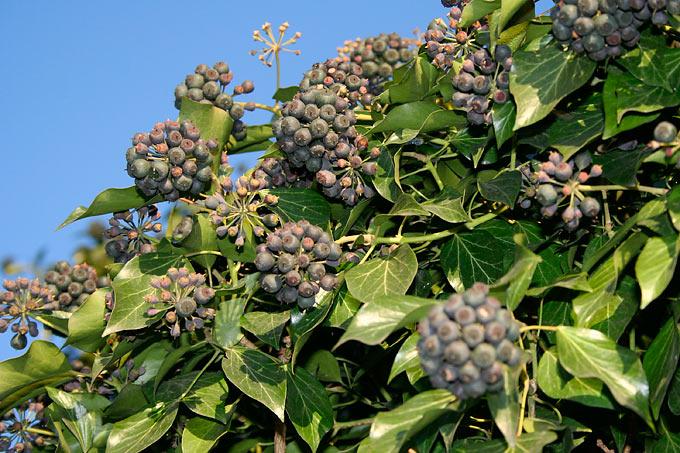 Blatt-Extrakte Gegen Keuchhusten: Arzneipflanze Efeu