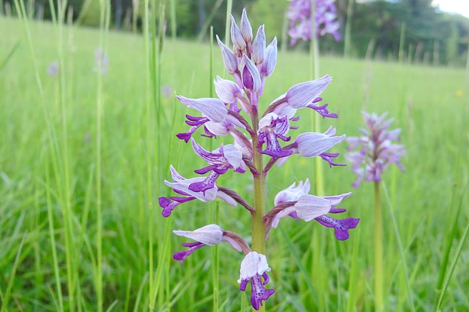 Heimische Orchideen - NABU