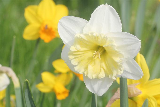 Osterglocken Läuten Den Frühling Ein: Narzissenblüte In