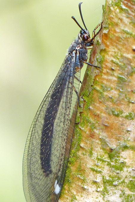 Die ausgewachsene Gemeine Ameisenjungfer - Foto: Maike Sprengel-Krause/www.naturgucker.de