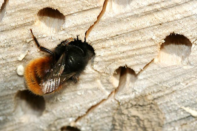 Gehörnte Mauerbiene an Nistholz - Foto: Helge May