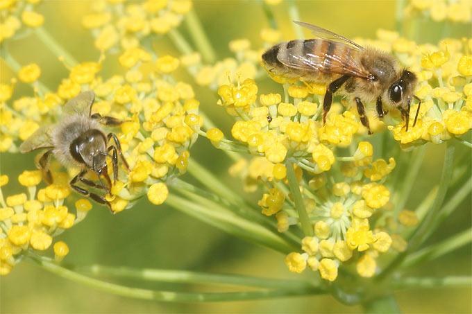 Honigbienen auf Fenchel - Foto: Helge May