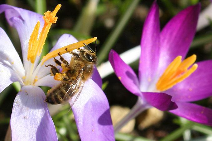 Honigbiene an Krokus - Foto: Helge May