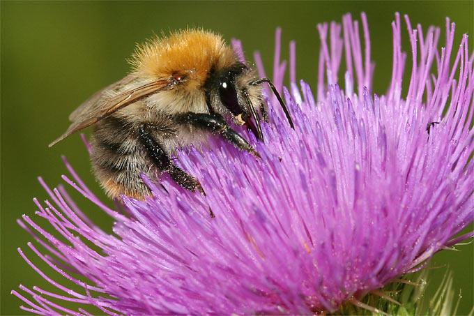 Mehr Natur Im Garten. Ackerhummel Auf Gewöhnlicher Kratzdistel   Foto:  Helge May