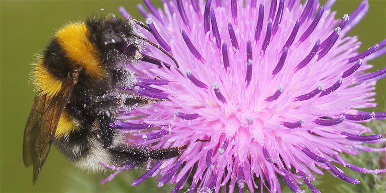 Erdhummel an Krauser Distel - Foto: Helge May